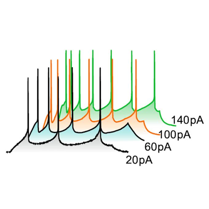 Neural circuit dysfunction causing bipolar disorder | RIKEN Center for Brain Science - Lab. for Molecular Dynamics of Mental Disorders